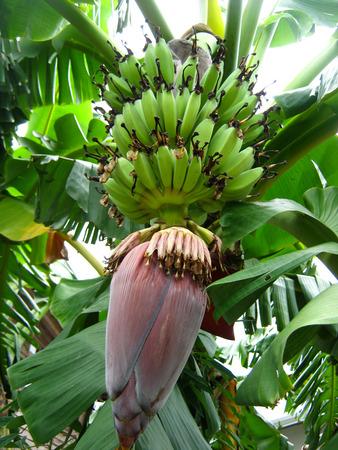 banana tree Zdjęcie Seryjne