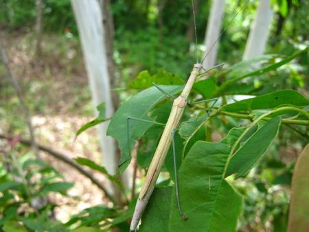 stick insect Zdjęcie Seryjne