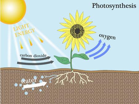 stoma: photosynthesis Vettoriali