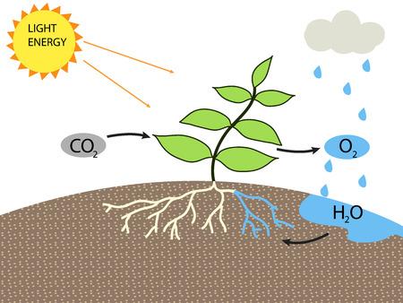 Photosynthese Standard-Bild - 47928476