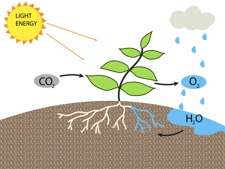 stoma: photosynthesis Illustration
