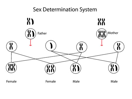 sex chromosomes: sex determination