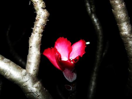 azalea Zdjęcie Seryjne - 48521855