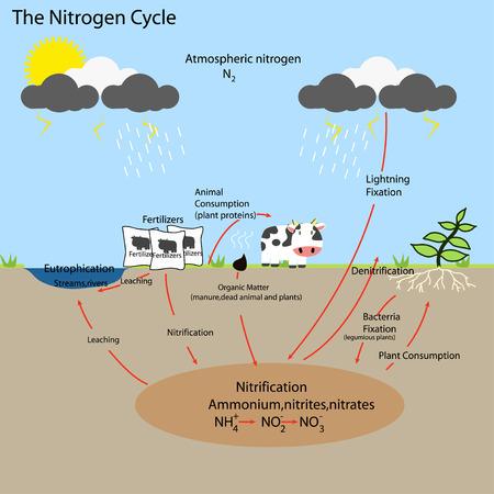 nitrogen: The Nitrogen Cycle