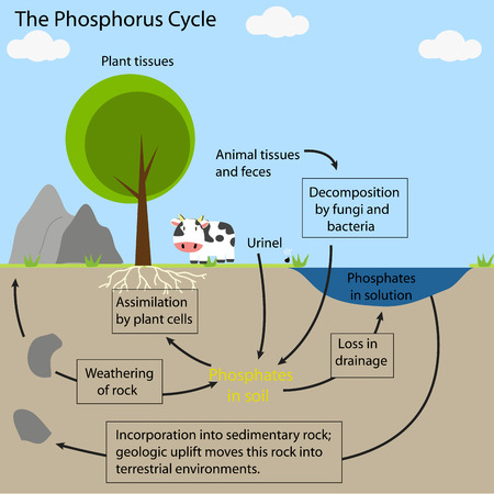 The Phosphorus Cycle Royalty Free Cliparts Vectors And Stock