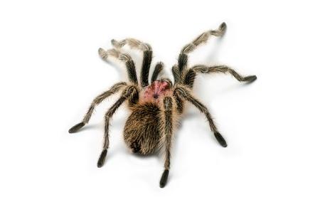 burrow: Chilean rose tarantula Stock Photo