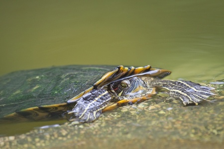 Tortrise in the water photo