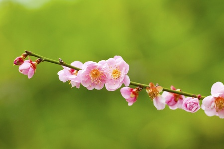 Plum blossoms blooming photo