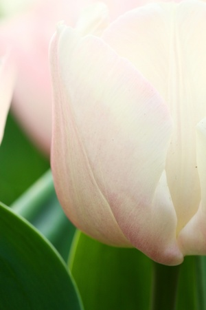 Pink tulips background photo
