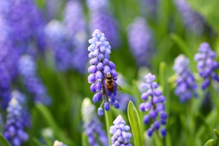 Grape hyacinth with bee in spring photo