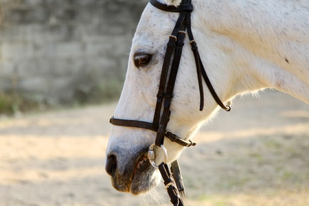 White horse close-up Stock Photo - 12739943