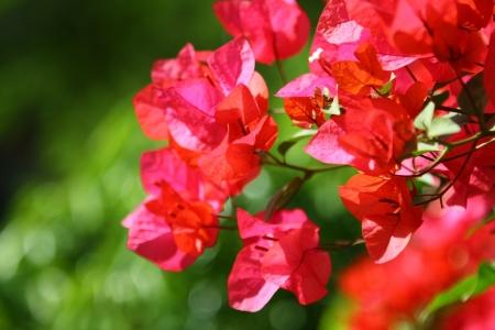 flor morada: Azalea bajo el sol