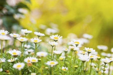 Field of daisies and sun Stock Photo - 12902522