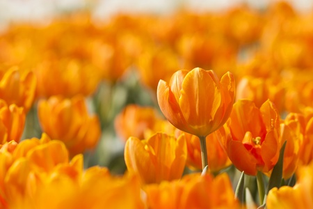 Orange tulip in spring photo
