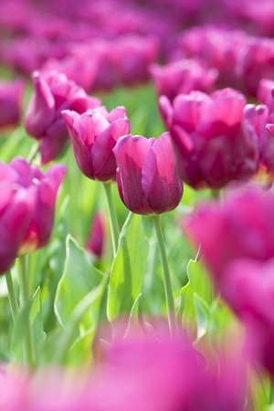Pink tulip in spring time photo