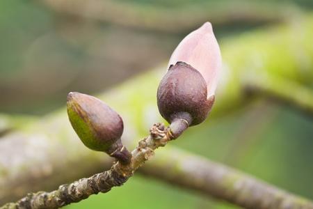 cotton flower: Cotton flower buds