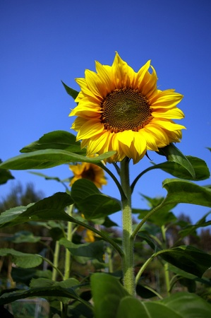 Sunflowers under blue sky photo