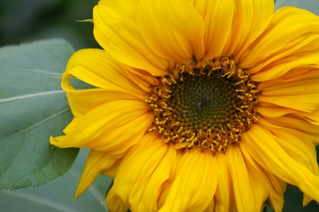 Close-up of a sunflower photo