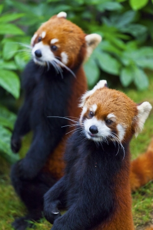 wild asia: Little red panda, endangered species