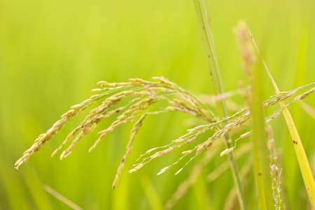 Close up of green paddy rice Stock Photo - 16257214
