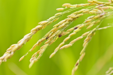Rice grains in field Stock Photo - 16257200