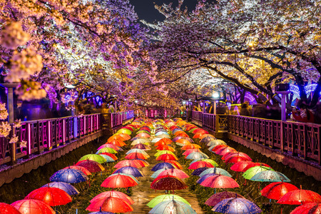 korea: Cherry blossoms at night in Busan, South Korea. Stock Photo