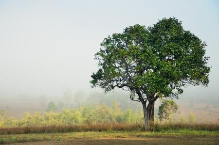 tall tree: Alone tree in the field