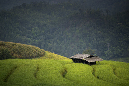 rice harvest: Beautiful Rice Terraces, South East Asia