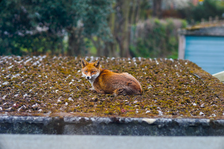 An alerted fox (vulpes vulpes) caught relaxing on the roof in Forest Hill, a suburb in London. Shot was taken in the morning in March, Spring. Stock Photo