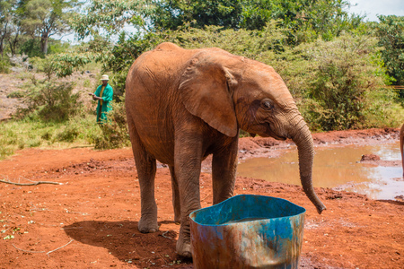 A orphaned baby elephants at the David Sheldrick Wildlife Trust, a park that takes cares of orphaned baby elephants.