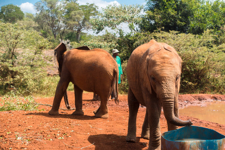 An orphaned baby elephant drinks water out of a tank at the David Sheldrick Wildlife Trust, a park that takes cares of orphaned baby elephants.