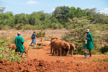 A herd of orphaned baby elephants run after their carers at the David Sheldrick Wildlife Trust, a park that takes cares of orphaned baby elephants.