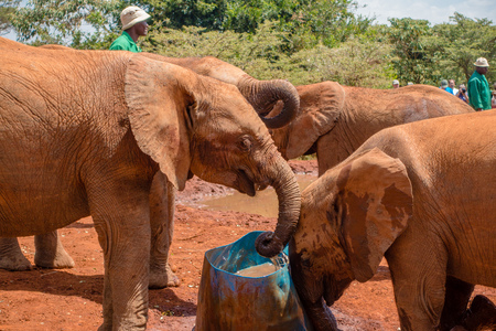 A herd of orphaned baby elephants drink water at the David Sheldrick Wildlife Trust, a park that takes cares of orphaned baby elephants. Stock Photo