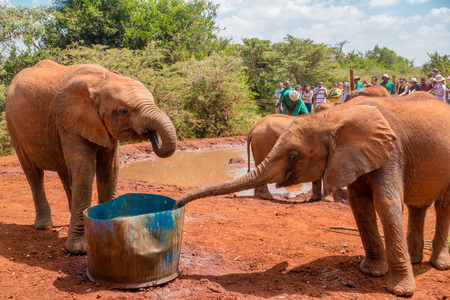 Two orphaned baby elephants drinking water at the David Sheldrick Wildlife Trust, a park that takes cares of orphaned baby elephants. Stock Photo
