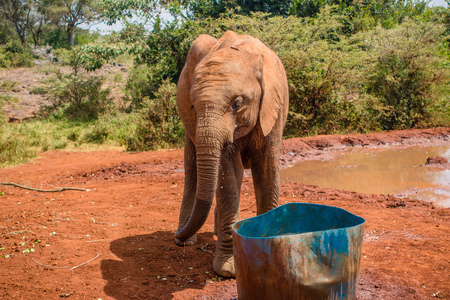 An orphaned baby elephant drinking water at the David Sheldrick Wildlife Trust, a park that takes cares of orphaned baby elephants. Stock Photo