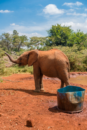 An orphaned baby elephant raises snout at the David Sheldrick Wildlife Trust, a park that takes cares of orphaned baby elephants.