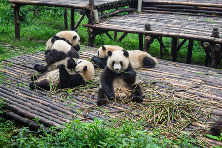 multiples: Giant Pandas can be seen having their morning breakfast consisting of bamboo. The Chengdu Research Base of Giant Panda Breeding is a reserve for the endangered Panda Stock Photo