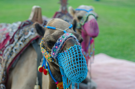 A pair of camels with a net on the face are walking on the lawn