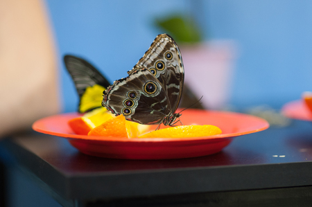 The butterfly sits on a skin of lemon. 스톡 콘텐츠