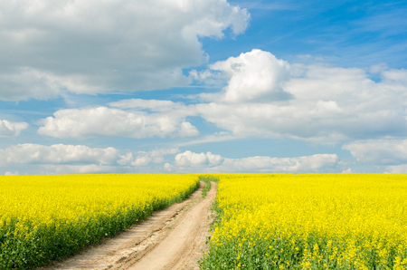 Road through the raps field in a sunny day.
