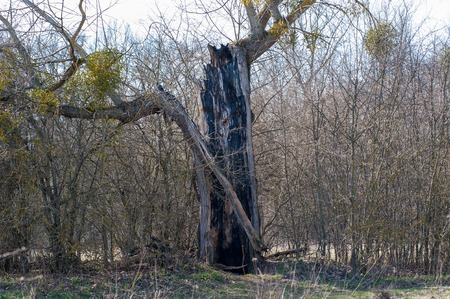 old tree killed by lightning thunderstorms. Lightning struck a tree