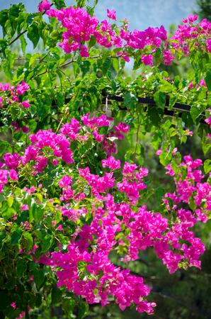 Flowering bush of pink lilac flower under blue sky. Spring flower Concept.