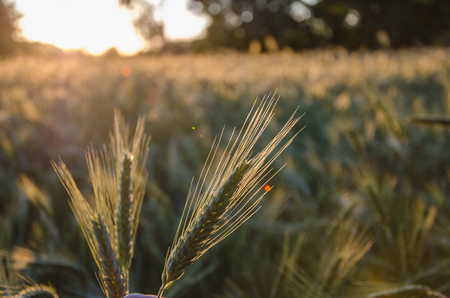 Wild grass with spikelets smoothly swinging in wind, summer plants. Green grass with golden and fluffy ears, nature. Spikelets wild grass at dawn. Plants in the sunlight. Wild wheat spikelets in field