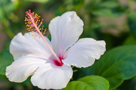 Blühende weiße Lilie Blütenknospen Lilium Samur, Zeitraffer-Aufnahmen. Nahaufnahme, Makro.