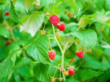 raspberry bush. Autumnal scenery. Ripe red raspberries on a bush on a background of green foliage, closeup