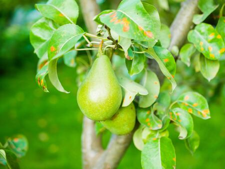 green pear on a tree. Green pear on a tree branch. home garden. growing for yourself. natural product. without additives and chemistry.
