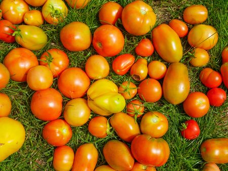 tomatoes on the grass. different colors and shapes on a sunny day. Tomatoes on the green grass. natural grass and tomatoes. Tomato season. Top view, flat lay.