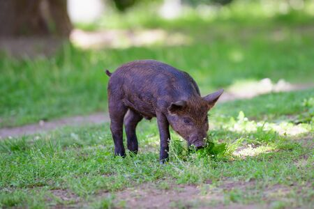 little dark pig. Cute little black pig walks on a puddle, eating grass, love of nature, vega. Dark pig. Фото со стока