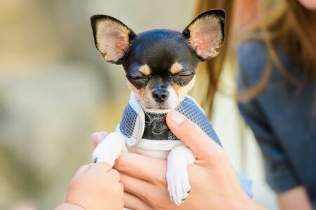 Toy terrier in his arms, dressed in clothes. love for animals, pets.