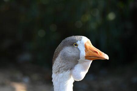 goose head. Goose head close up. grey goose.